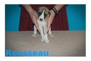 Whippet hvalp 4 uger Rousseau